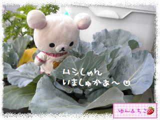 ちこちゃんのキャベツ観察日記★2★大きくなってましゅよ~-5