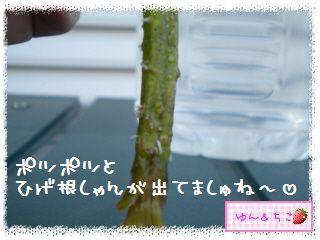 トマト観察日記★10★わき芽しゃんの成長-3