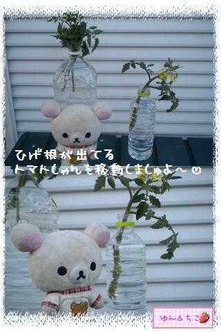 トマト観察日記★10★わき芽しゃんの成長-4