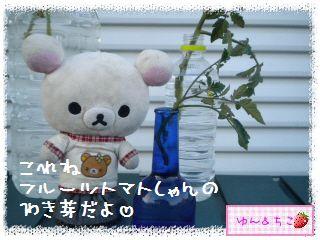トマト観察日記★10★わき芽しゃんの成長-5