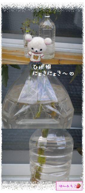 トマト観察日記★11★わき芽しゃんの植え替え①-2