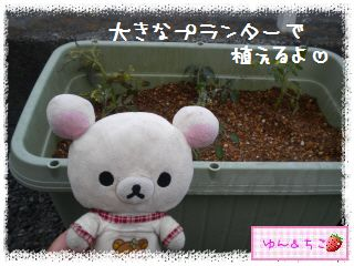 トマト観察日記★11★わき芽しゃんの植え替え①-4
