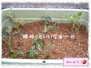 トマト観察日記★11★わき芽しゃんの植え替え①-5
