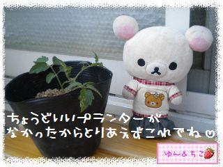 トマト観察日記★12★わき芽しゃん植え替え②-4