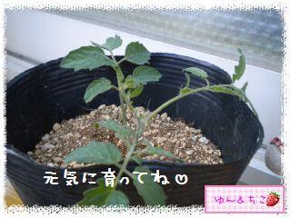 トマト観察日記★12★わき芽しゃん植え替え②-5