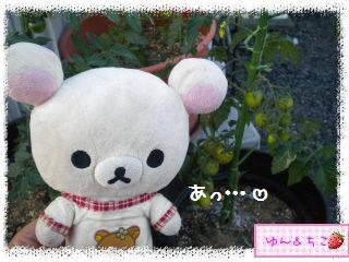 トマト観察日記★13★照れ屋しゃんでしゅね~-2