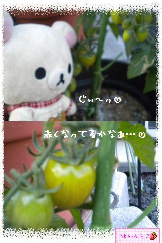 トマト観察日記★13★照れ屋しゃんでしゅね~-3