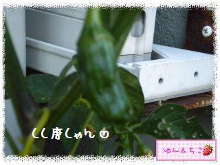 トマト観察日記★13★照れ屋しゃんでしゅね~-5