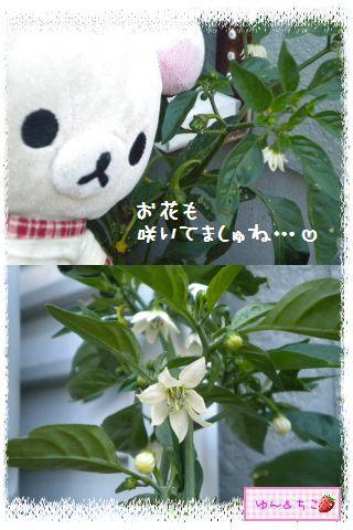 トマト観察日記★13★照れ屋しゃんでしゅね~-6