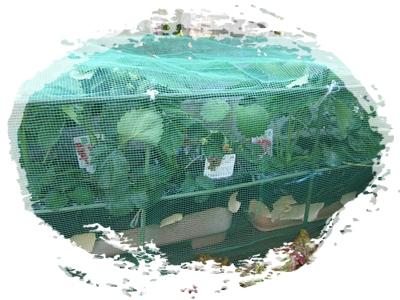 2013.5yunの苺プランター