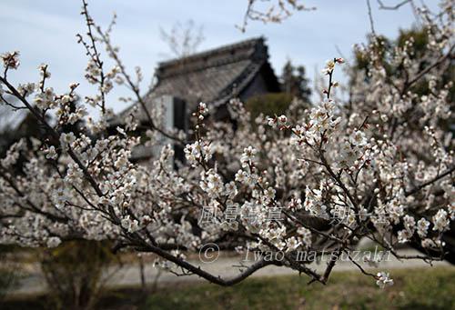 松源寺の梅