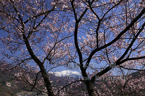 桜と仙丈ケ岳