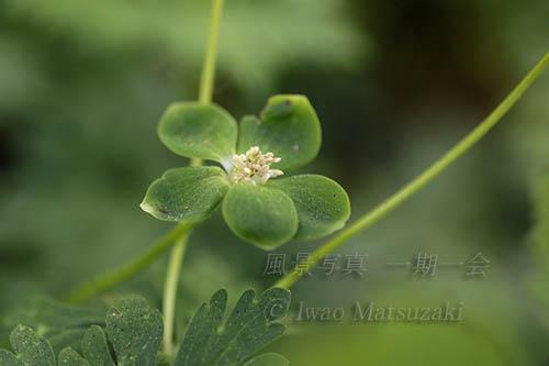 緑のニリンソウ 1
