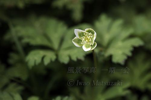 緑のニリンソウ 2