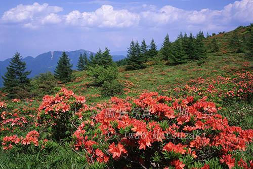高原に咲く