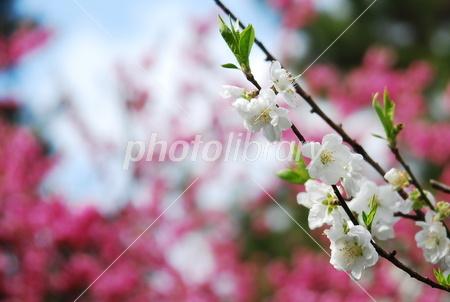 2337983 白い桃の花