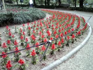 長居公園 植物園 2013(サルビア・スプレンデンス)