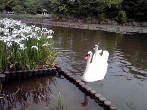 長居公園 植物園 2013(2羽の白鳥さん)