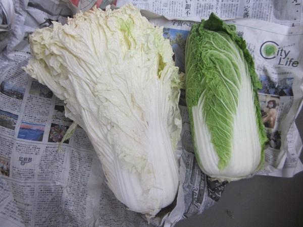 白菜と山東菜