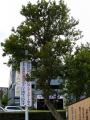 西武飯能駅 ザクロの木