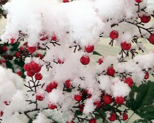 Snow_covered_nandina_berries_convert_20131115223004.jpg