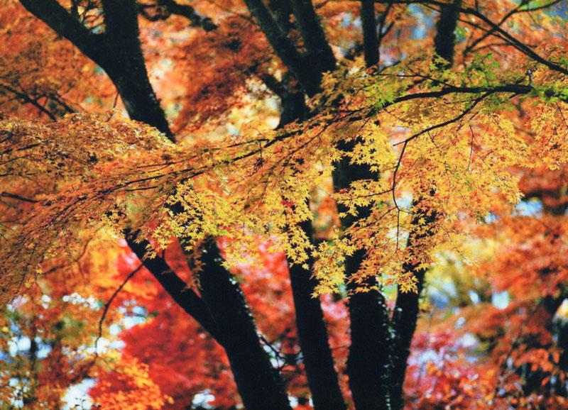 輝く紅葉 (香川県 さぬき市 多和 大窪寺)