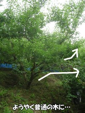 普通の木に