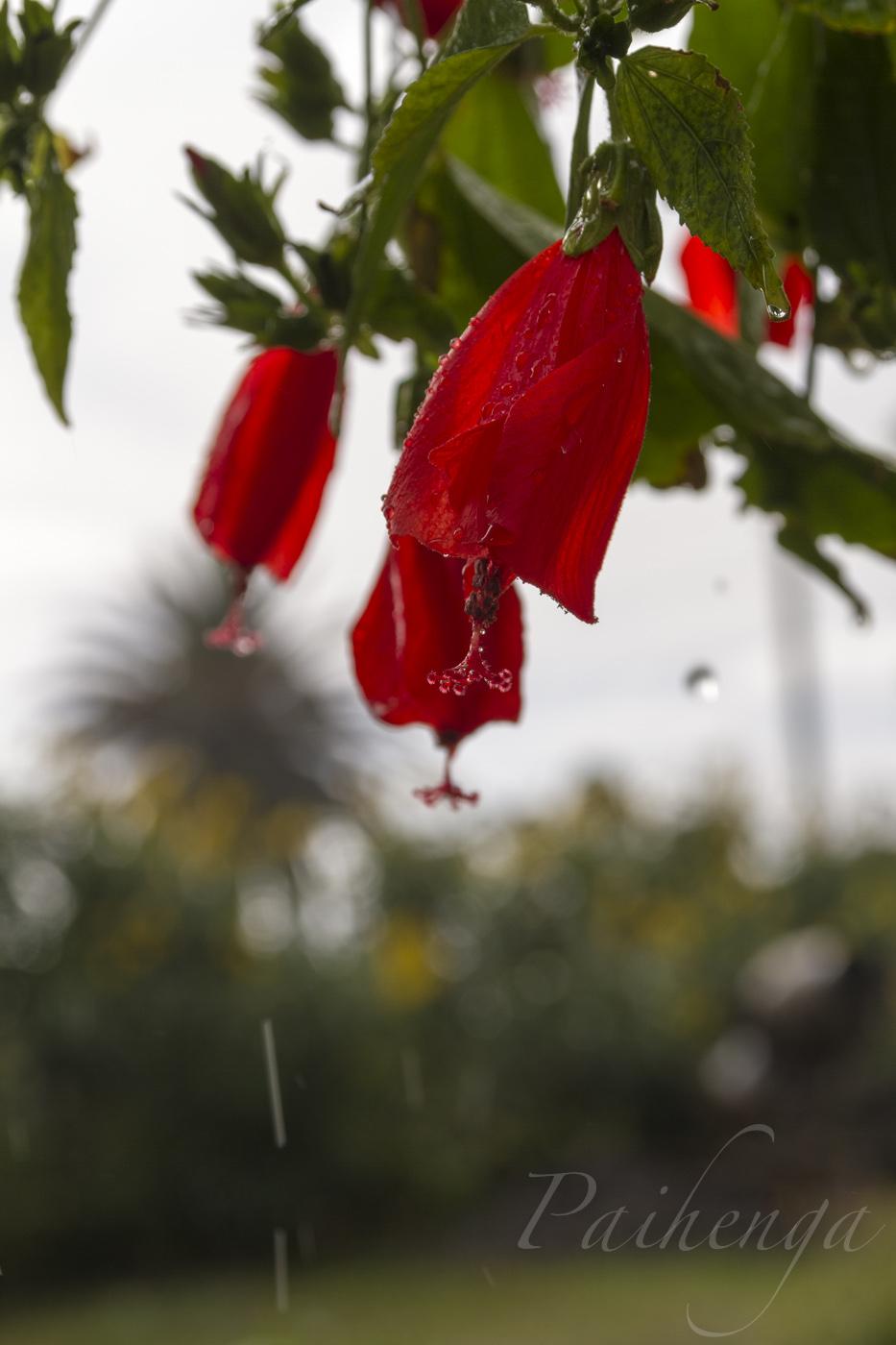 hibiscus08.jpg