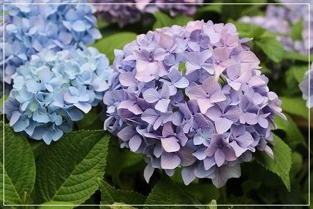 空梅雨ですが、アジサイは綺麗に咲いてます^^