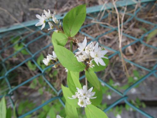 20130505・近所の植物06・ヒメウツギ