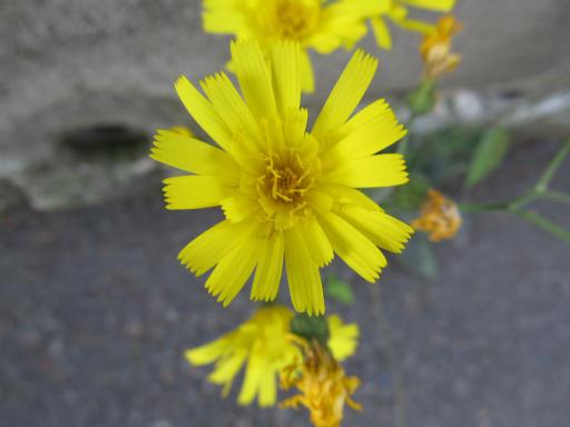20130505・近所の植物05・コウゾリナ