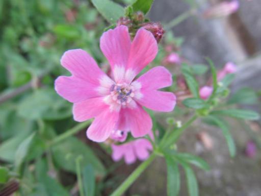 20130505・近所の植物03・サクラマンテマ