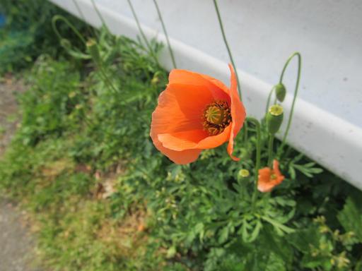 20130505・近所の植物01・ナガミヒナゲシ