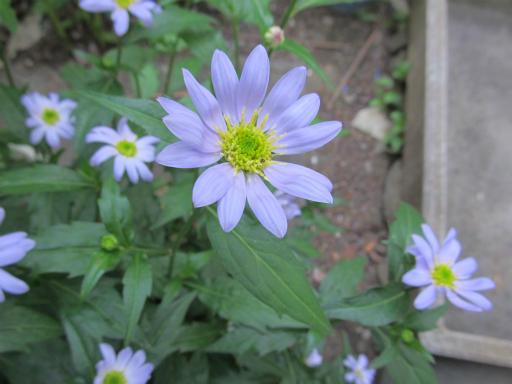 20130505・近所の植物09・ミヤコワスレ