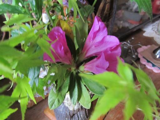 20130505・近所の植物10・ムラサキツツジ