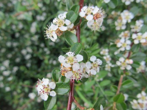 20130505・植物散歩07・ベニシタン(コトネアスター)