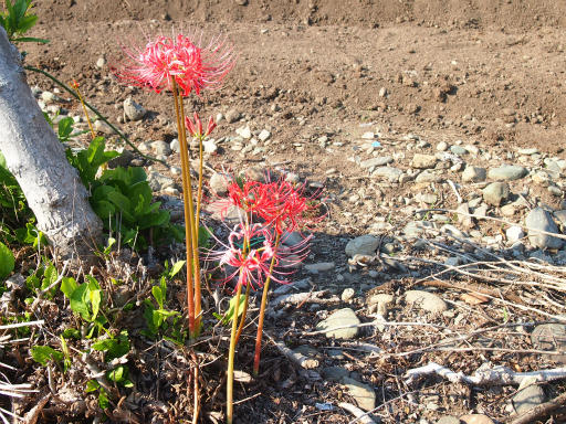 20130921・群馬墓参り1-14・ヒガンバナ