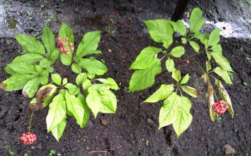 初めて見た、オタネニンジン(高麗人参)半径5mも香ってきます!薬草ってかんじ・・・守護職時代の経済をささえた高価な植物でした